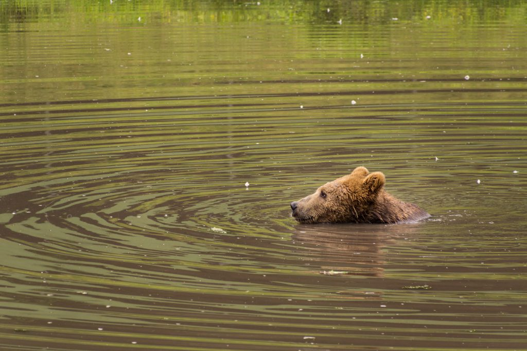 Brown Bear Swimming